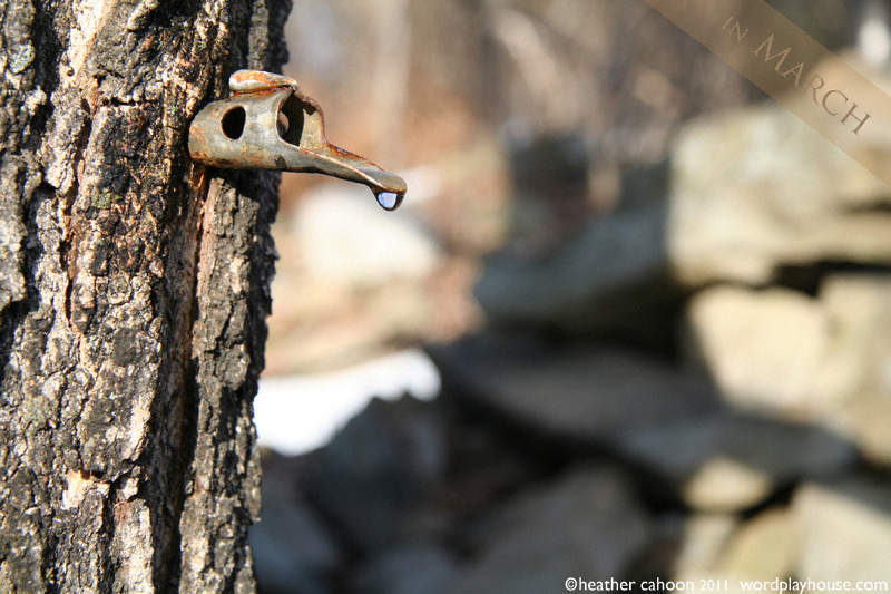Maple-sap-spigot-tapped-into-tree