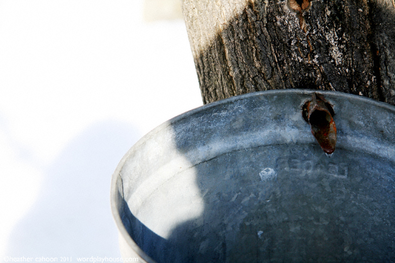 Maple-sap-bucket-hanging-on-spigot
