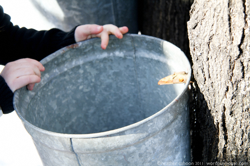 Hanging-maple-sap-bucket-on-spigot