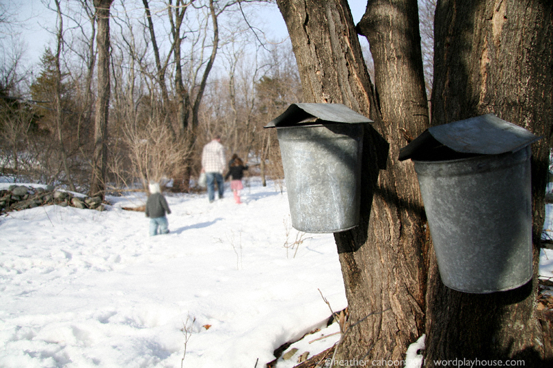 c8bac152343 maple sugaring! step 1  how we tap our maple trees - wordplayhouse®