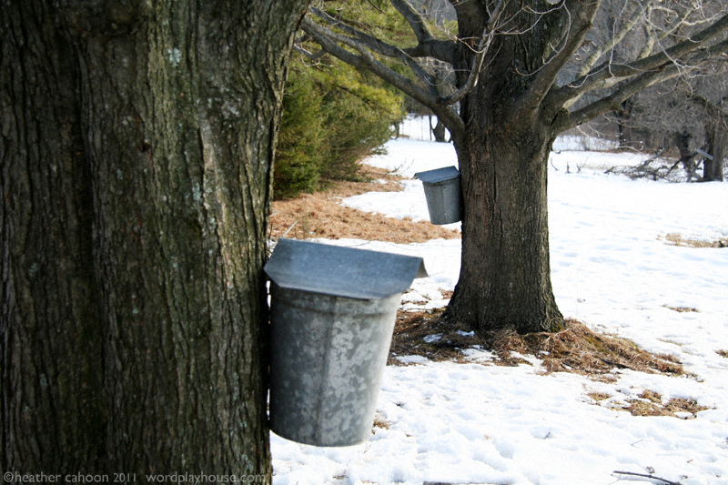 Maple-sap-buckets-hanging-from-maple-trees