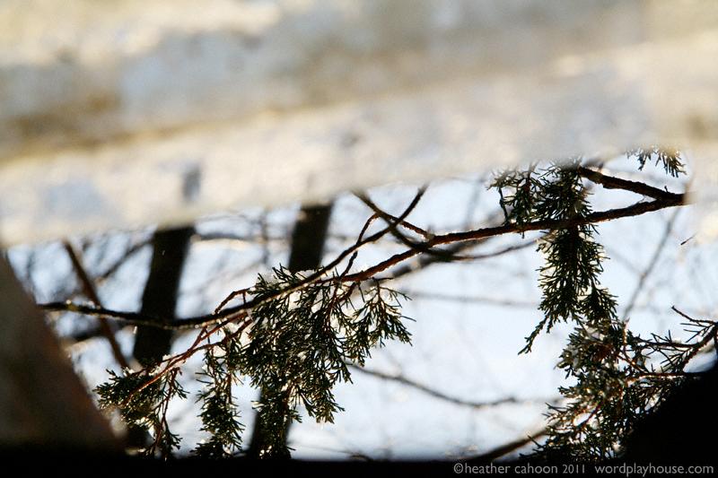 Snow-melting-off-tree-branch