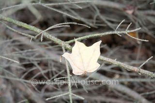 Maple-leaf