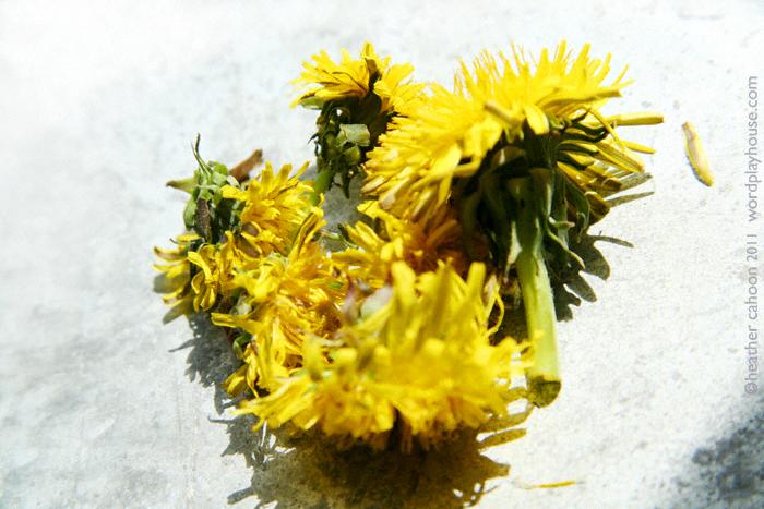 Picked-flowers-dandelion-heads