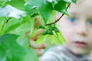 Maple-seeds