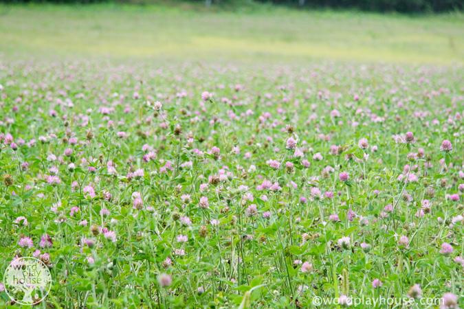 Field-of-clover